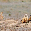 In order to do pipe maintenance in the area around Legacy High School, the city's parks and open space department is relocating up to 250 prairie dogs from the open space just north of the high school and west of Zuni Street. <br /> Cliff Grassmick  / October 19, 2012