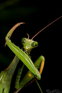 Male European Mantis the Day before the Act.  (Resistance is futile)