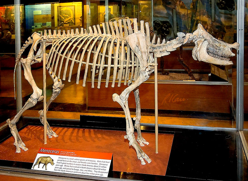 Prehistoric animal skeleton: Menoceras, as described in the exhibit caption, is a small, extinct species of rhinoceros that lived in western North America 21 million years ago. Exhibit Museum of Natural History, University of Michigan, Ann Arbor, 2006.