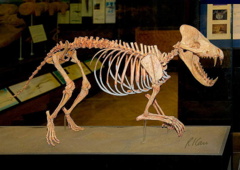 Prehistoric animals: Mesonychids were meat eaters with hoofed feet that lived 63 to 33 million years ago. They are related to today's hoofed mammals, which differ by all being plant eaters. Exhibit Museum of Natural History, University of Michigan, Ann Arbor, 2006.