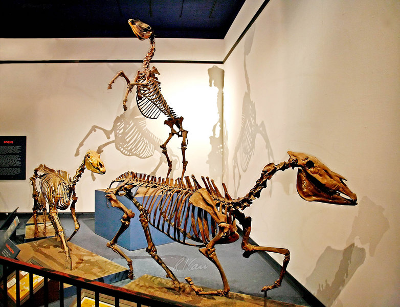 "Prehistoric animal skeleton, early American horses:  On left is 3-toed Grazing Horse, Neohipparion Leptode, Late Miocene, 6-7 million years ago, from Thousand Creek Formation, Nevado. In foreground is an Early Advanced Horse, Equus simplicidens, from Glenns Ferry Formation, Idaho. On two feet in rear is a Western Horse, Equus ""occidentalis"" Leidy, Late Pleistocene, 12-40 thousand years ago, from Rancho La Brea, California. Los Angeles Museum of Natural History, January 2006."