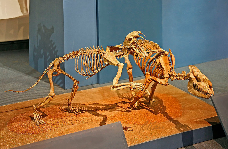 Prehistoric animal skeleton: Ancient Cat, dinictis, attacks running rhinoceros, hyracodon. Middle Oligocene Period, 32 million years ago. Brule Formation, Nebraska. Los Angeles County Museum of Natural History. January 2006.