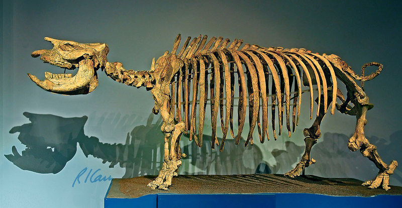 Prehistoric animal skeleton: Short-legged rhinoceros, Teleoceras, Late Miocene, 8 million years ago, Ogallala Group, Kansas. Los Angeles County Museum of Natural History. January 2006.