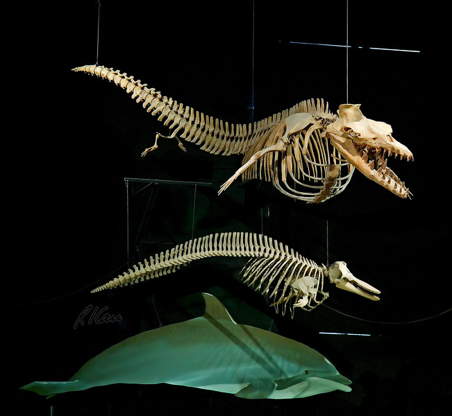 Prehistoric animal skeleton fossils: Dorudon, an archaeocete whale, is upper skleton. Below is a modern cetacean, the bottlenose dolphin, shown whole at bottom. Exhibit Museum of Natural History, University of Michigan, Ann Arbor, February 2006.