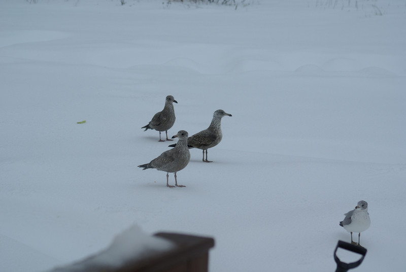 Birds Boston Sea Gulls Winter visitors