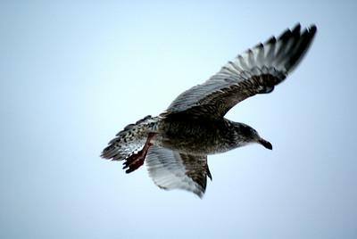 Birds Boston Sea Gulls Winter visitors