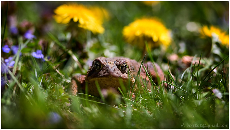 An unhappy looking spring toad.