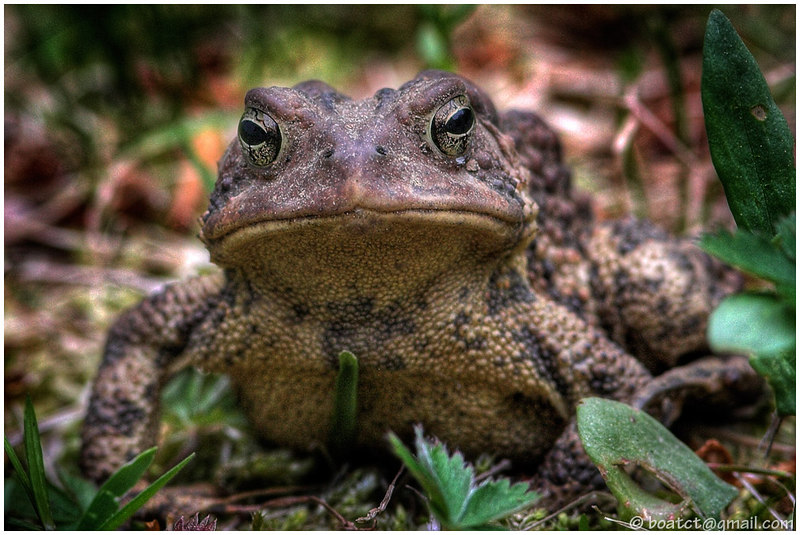 A grumpy toad. June 2006.