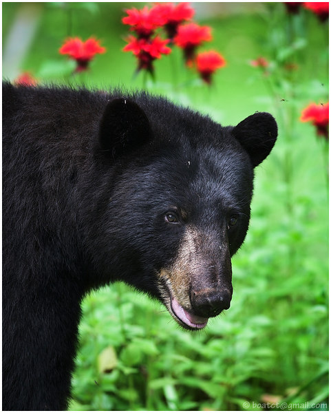 I woke up a few minutes ago so I could photograph this guy who was wandering through the yard. Anyone who thinks bears are ugly should have their eyes examined :).
