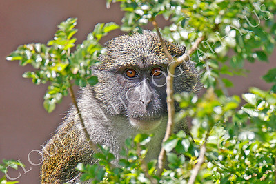Allen's Swamp Monkey 00026 by Peter J Mancus