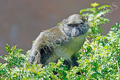 Allen's Swamp Monkey 00020 by Peter J Mancus