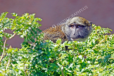 Allen's Swamp Monkey 00002 by Peter J Mancus