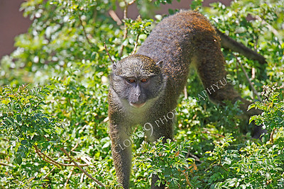 Allen's Swamp Monkey 00005 by Peter J Mancus