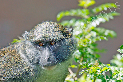 Allen's Swamp Monkey 00062 by Peter J Mancus