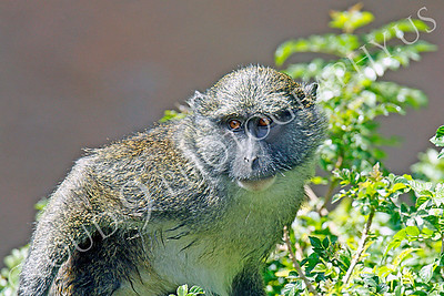 Allen's Swamp Monkey 00040 by Peter J Mancus