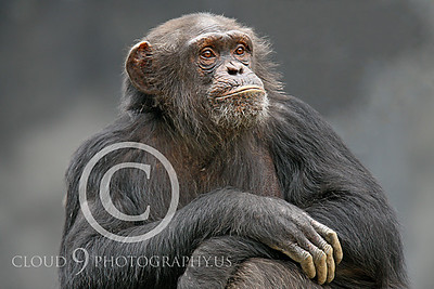 AN-Chimpanzee 00002 An older chimp strikes a pose by Peter J Mancus