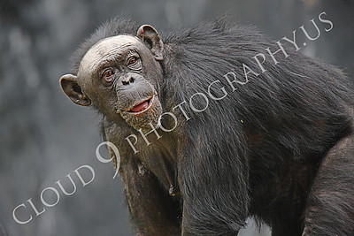 AN-Chimpanzee 00006 Adult female chimp with a happy expression by Peter J Mancus