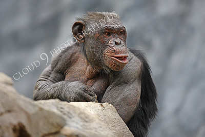 AN-Chimpanzee 00007 Adult chimpanzee by Peter J Mancus