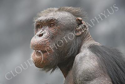 AN-Chimpanzee 00047 An old chimp by Peter J Mancus