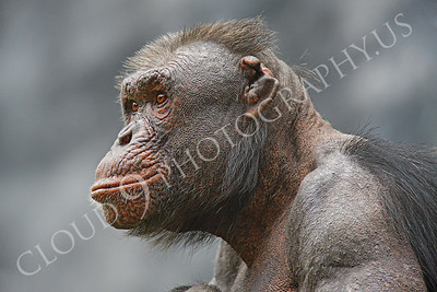 AN-Chimpanzee 00013 An older battle scarred male chimpanzee by Peter J Mancus