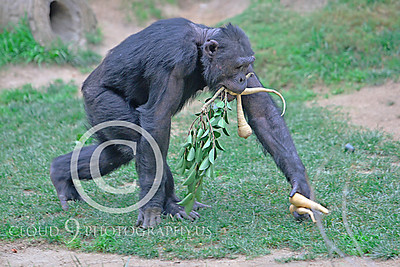 AN-Chimpanzee 00001 Chimp walking with food by Peter J Mancus