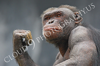 AN-Chimpanzee 00085 An older chimp with a snarl and a battle scarred ear by Peter J Mancus
