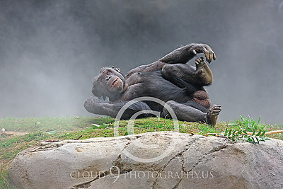 AN-Chimpanzee 00004 Reclined chimp in the mist by Peter J Mancus