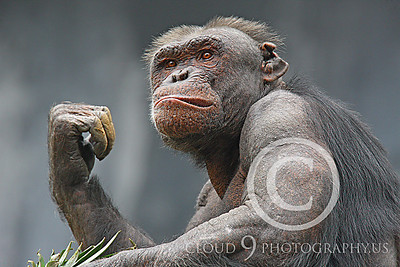 AN-Chimpanzee 00003 An older chimp with a snarl and a battle scarred ear by Peter J Mancus