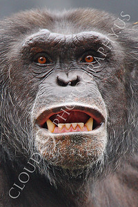 AN-Chimpanzee 00104 Adult male chimpanzee bares its teeth by Peter J Mancus