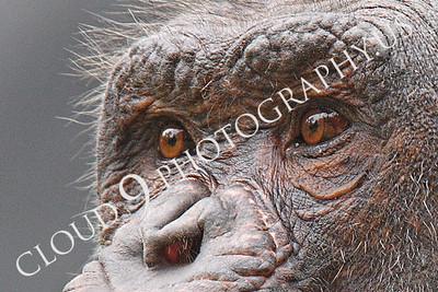 AN-Chimpanzee 00101 An old chimp's eyes by Peter J Mancus