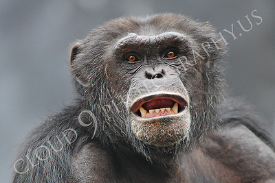 AN-Chimpanzee 00009 Adult male chimpanzee bares its teeth by Peter J Mancus