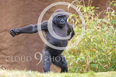 AN-Gorilla 00014 Dancing baby gorilla by Peter J Mancus