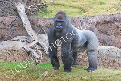 AN-Gorilla 00011 Gorilla silverback by Peter J Mancus