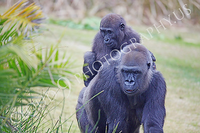 AN-Gorilla 00018 Mother gorilla with piggy backing baby by Peter J Mancus