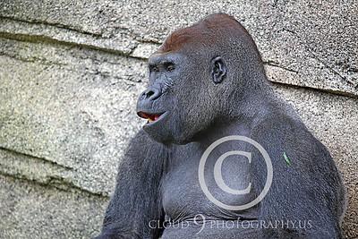 AN-Gorilla 00016 Gorilla silverback by Peter J Mancus