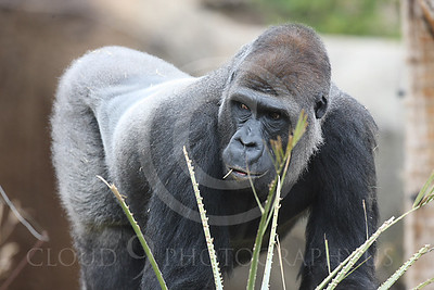 AN-Gorilla 00001 Adult male silverback gorilla by Peter J Mancus