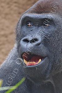 AN-Gorilla 00023 A gorilla silverback by Peter J Mancus