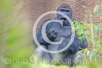 AN-Gorilla 00015 Feeding gorilla silverback by Peter J Mancus