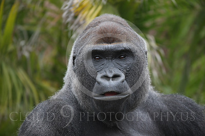 AN-Gorilla 00013 Gorilla silverback by Peter J Mancus