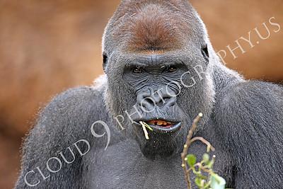 AN-Gorilla 00020 Gorilla silverback by Peter J Mancus