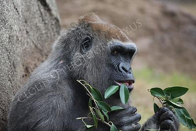 AN-Gorilla 00028 Adult gorilla by Peter J Mancus