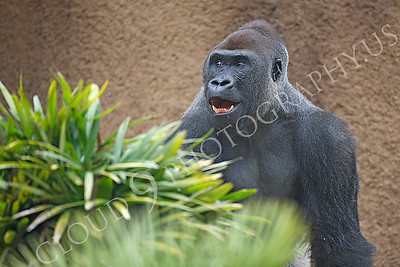 AN-Gorilla 00007 A gorilla silverback by Peter J Mancus