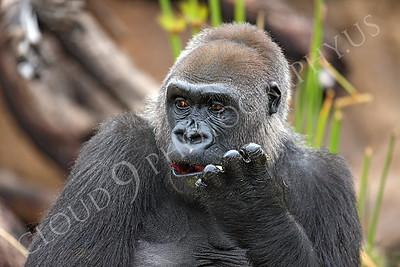 AN-Gorilla 00027 Adult gorilla by Peter J Mancus