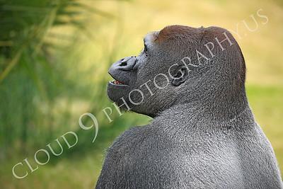 AN-Gorilla 00024 Gorilla silverback by Peter J Mancus