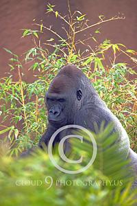 AN-Gorilla 00019 Gorilla silverback by Peter J Mancus