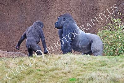 AN-Gorilla 00026 Gorilla silverback with juvenile gorilla by Peter J Mancus