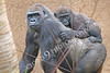 Gorilla Wildlife Photography : High resolution gorilla pictures for sale.