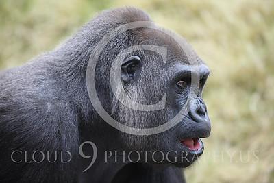 AN-Gorilla 00010 Adult gorilla by Peter J Mancus