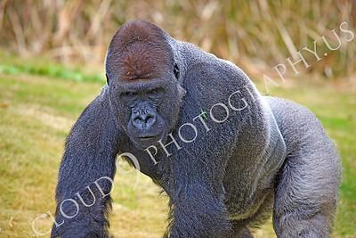 AN-Gorilla 00021 Gorilla silverback by Peter J Mancus