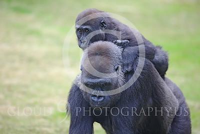 AN-Gorilla 00012 Hitch hiking baby gorilla by Peter J Mancus